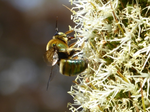 Metallic green carpenter bee (Xylocopa aeratus) at the Australian National Botanic Gardens by Andy Russell