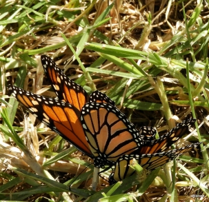 Monarch butterflies by Alwyn Campbell