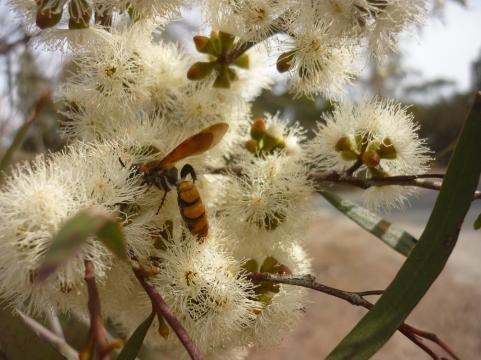 Orange flower wasp by Karen Davies