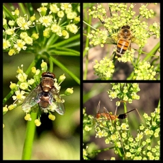Parsley flower visitors (fly, honey bee and ant) by Helen Bucknell