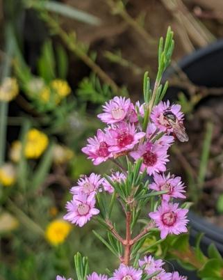 Reed Bee on Verticordia plumosa by Gabrielle Bradley