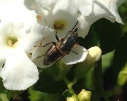 Rhiniidae fly on Duranta flowers by Julie McKinlay