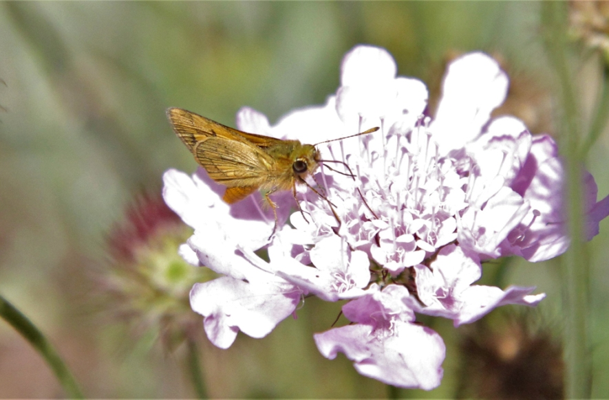 Skipper (butterfly) by Wahroonga Waterways Landcare