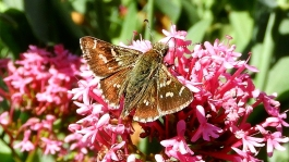 Two Spotted Grass Skipper Butterfly (Pasma tasmanicus) by Kay Muddiman