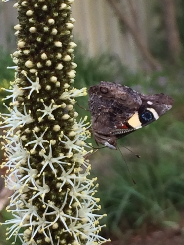 Yellow admiral butterfly on Xanthorrhoea flower by S C