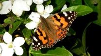 Australian Painted Lady Butterfly (Vanessa kershawi) on Mexican Orange Blossom (Choisya ternata) 13.4.20 by Kay Muddiman