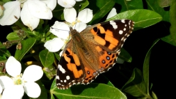 Australian Painted Lady Butterfly (Vanessa kershawi) on Mexican Orange Blossom (Choisya ternata) 13.4.20 by Kay Muddiman