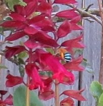 Blue-banded bee, Amegilla cingulata, on red Salvia by Judith Baker