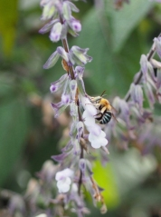 Blue-banded bee by Anne McL