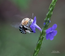 Blue-banded bee by Erica Siegel
