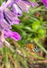 Blue-banded bee by Kim Van-Look