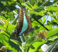 Blue triangle butterfly, Graphium sarpedon, on lantana by Judith Baker