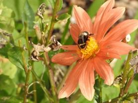 Bumble bee (Tasmania) by Robert Allen