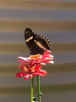 Butterfly on Zinnia by Melissa