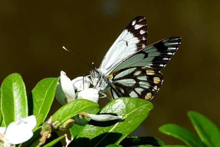 Caper White Butterfly (Belenois java) on Mexican Orange Blossom (Choisya ternata) by Kay Muddiman