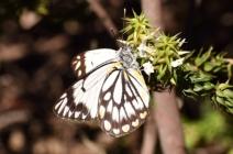 Caper white butterfly by Emma Croker