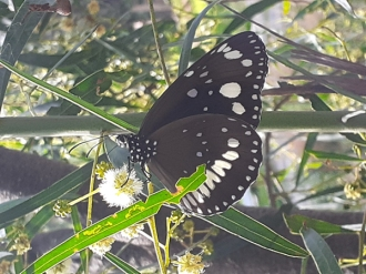 Common crow butterfly on wattle by James Cherry