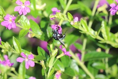 Cuckoo native bee by Jackie Lee