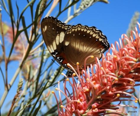 Eggfly butterfly by Alwyn Campbell