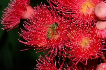 European honey bee by Julie