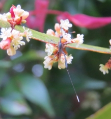 Gasteruptiid wasp by Judith Baker