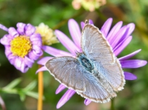 Grass blue butterfly by Dylan Coleman