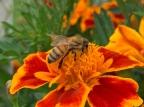 Honey bee by Vihana Pillai