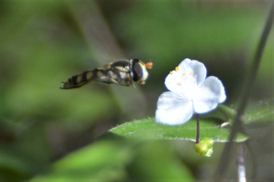Hover fly by John Mills