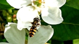 Hoverfly (Melangyna viridiceps) on Mexican Orange Blossom (Choisya ternata) by Kay Muddiman