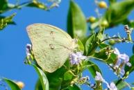 Lemon migrant by -Random Research-
