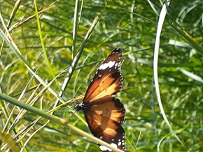 Lesser wanderer butterfly by James Cherry