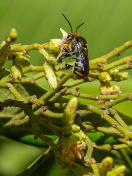 Lipotriches native bee, by Rodney Falconer