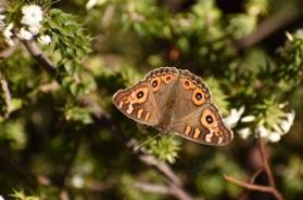 Meadow argus butterfly by Emma Croker