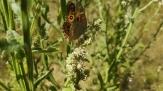 Meadow argus butterfly by Ian Simons-2