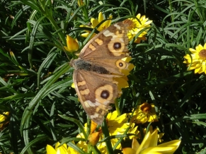 Meadow argus butterfly, Junonia villida, by Andy Russell-2