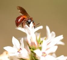 Native bee, Exoneura, by Emma Croker