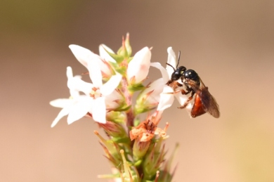 Native bee, Exoneura, by Emma Croker-2