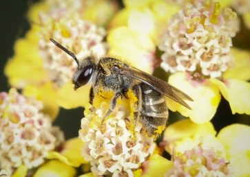 Native bee, Lasioglossum, by Dylan Coleman