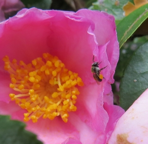 Native bee, Tetragonula carbonaria, on Camelia sasanqua, by Judith Baker