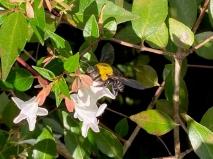 Native carpenter bee by Jo Bramma