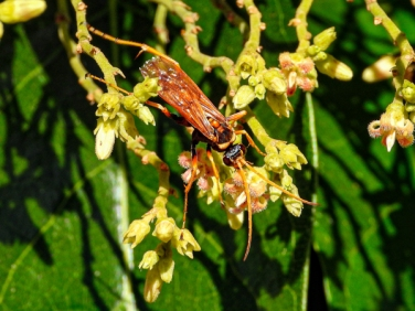 Orange Spider Wasp, Pompilidae, by Rodney Falconer
