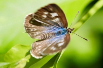 Plumbago blue butterfly by Jillian Taylor