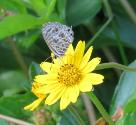 Plumbago blue butterfly, Leptotes plinius, on Singapore Daisy by Judith Baker