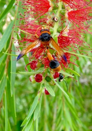 Potter wasp by -Random Research-