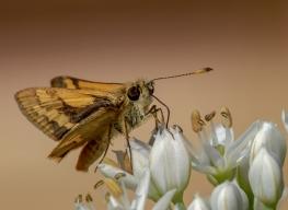 Skipper butterfly by Merrilyn Smith