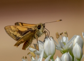 Skipper butterfly by Merrilyn Smith