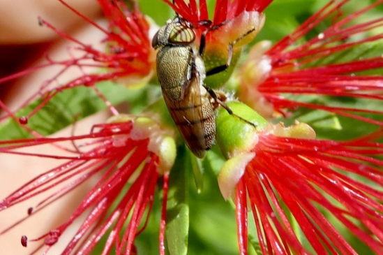 Stomorhina fly by -Random Research-
