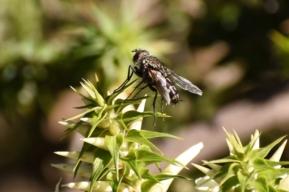Tachinid fly by Emma Croker