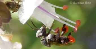 Tetragonula carbonaria stingless bee on perennial basil by Aussie Bee