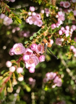 Wasp on thryptomene by Lisa G-2